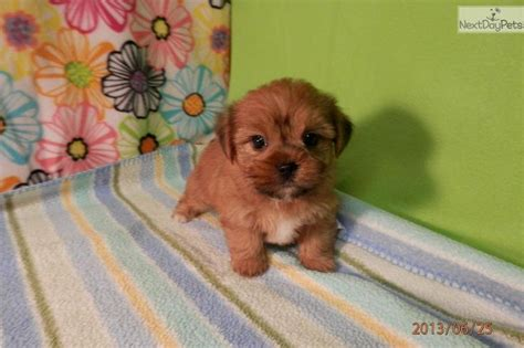 teacup yorkie puppies for sale in pittsburgh 107 best images about shorkie puppies on future baby yorkie and shih tzus
