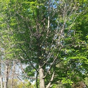 maple tree dead branches maple tree has dead branches ask an expert