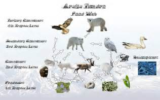 Pictures food web arctic tundra map arctic fox food chain arctic