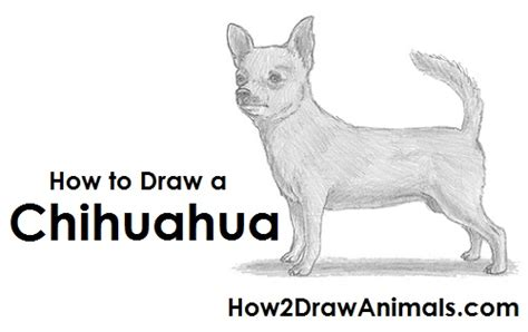 how to a chihuahua how to draw a chihuahua