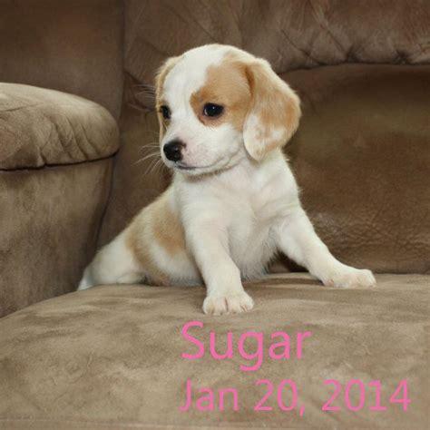 cheagle puppies sugar the cheagle puppy beagles cheagles