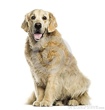 golden retriever panting at golden retriever panting sitting isolated royalty free stock photo image 34779015
