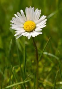 Daisy Facts Top 10 Facts About Daisies Telegraph