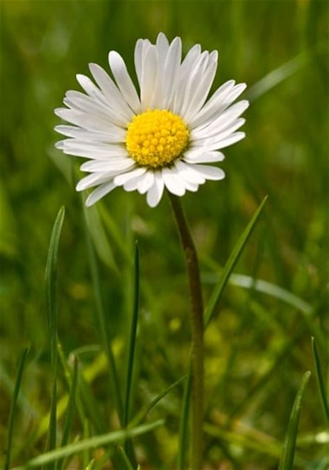 facts about daisy flowers top 10 facts about daisies telegraph