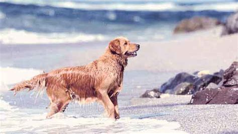 health problems in golden retrievers golden retriever health problems golden retriever cancer