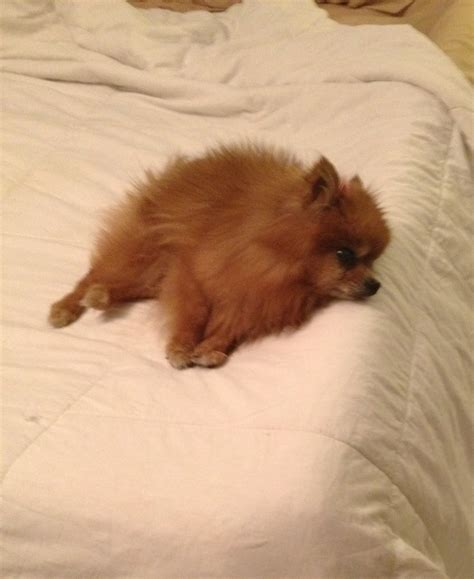 pomeranian bed does your pomeranian accidentally fall from the bed