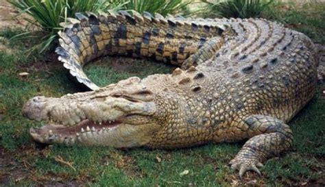 imagenes de animales reptiles 191 el cocodrilo es un reptil