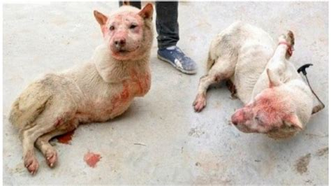 yulin festival 2017 petition 183 mr chen wu stop the 2017 yulin festival now 183 change org