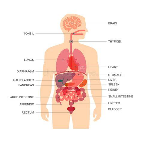 anatomia organi interni anatomia corpo umano illustrazione vettoriale