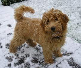 Medium dog breeds goldendoodle jpg pictures to pin on pinterest