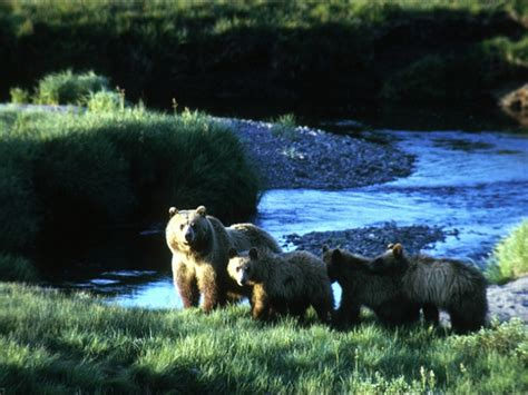 judge halts plan to eliminate secure grizzly bear habitat