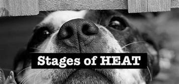 how long does a dog stay in heat love your woof
