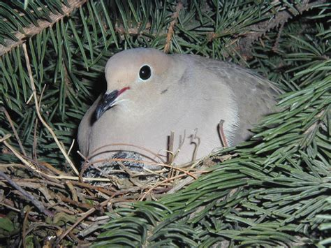 wat doesa brid dove look like mourning dove nest gallery