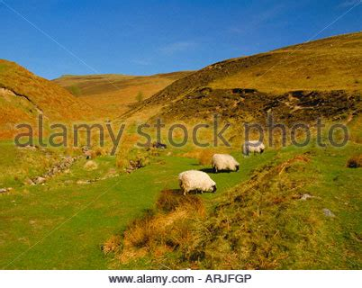 sheep in the cheviot hills of northumberland, england, uk