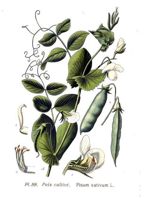 l jpg file 88 pisum sativum l jpg wikimedia commons