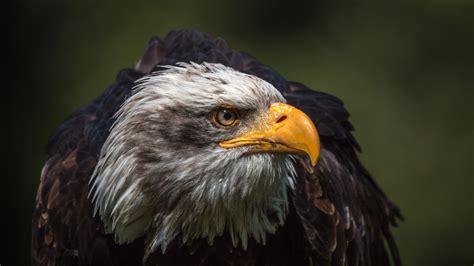 wallpaper 4k eagle bird backgrounds 4k download