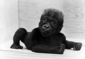 Colo colo the gorilla is world s oldest the washington post