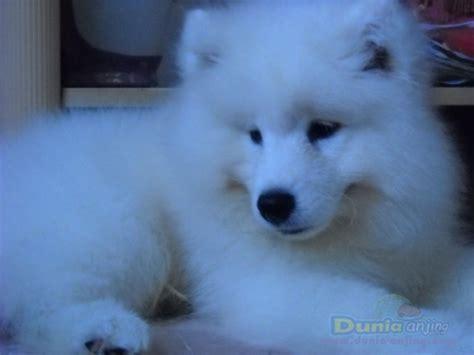 Anakan Anjing Samoyed dunia anjing jual anjing samoyed jual anakan anjing