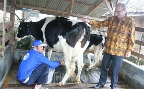 Bibit Sapi Medan sapi perah banyak dipotong industri nasional lu merah tribunnews