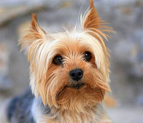 small breeds yorkie terrier popular small breed dinoanimals