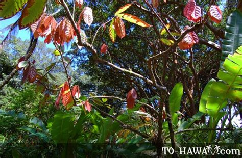 hawaii tropical botanical garden, big island