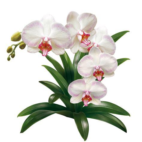come mantenere le orchidee in vaso compo tutto sulle orchidee