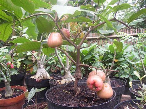 Bibit Tanaman Buah White Pome 40cm onta lebay tanaman buah dalam pot tambulapot bonsai