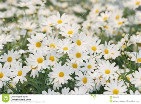 imagenes margaritas blancas co de las margaritas blancas fotos de archivo imagen