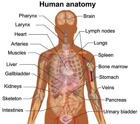anatomy organs anatomy of stomach organs human anatomy diagram