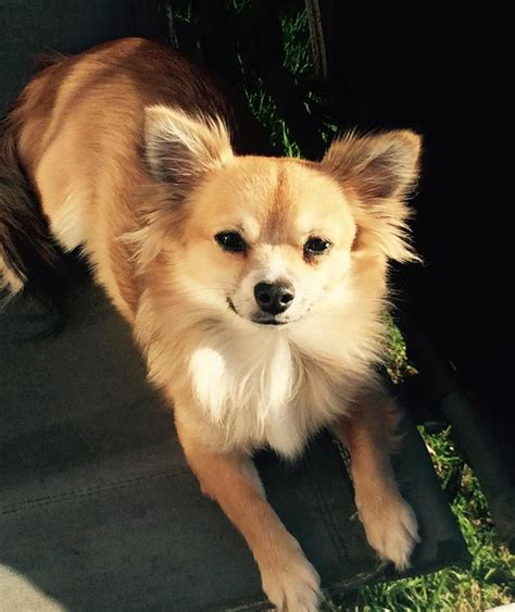 hair chihuahua puppies for sale in pictures of hair chihuahua haircuts hairstylegalleries