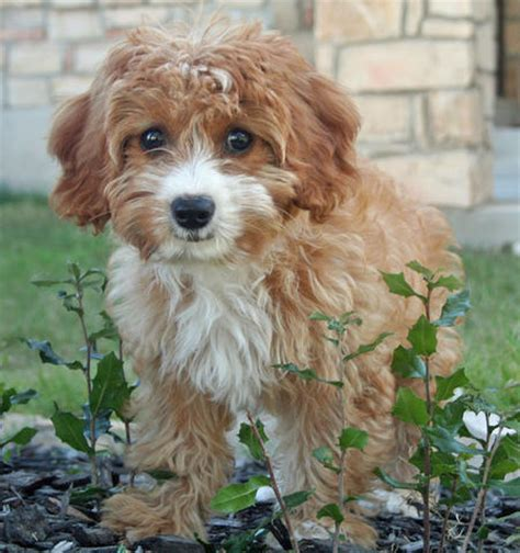 doodle name hazel hazel the poodle mix puppies daily puppy