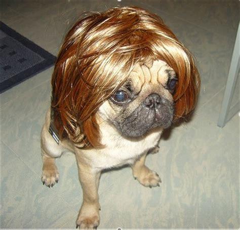 pug with wig pug wig somethings