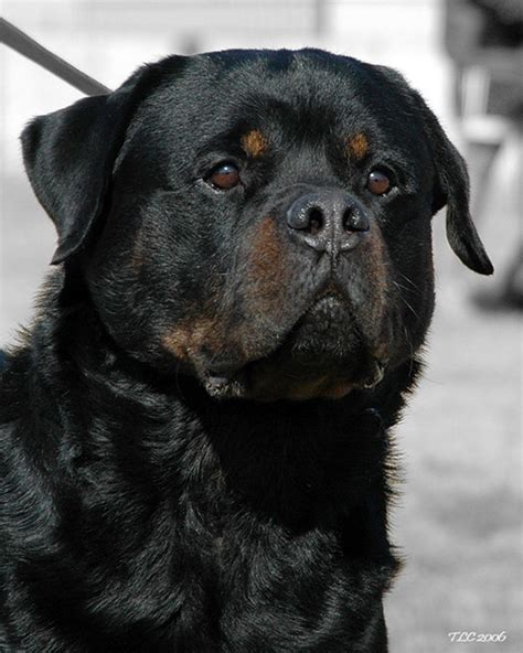 rottweiler breeders rottweilers how to keep your dogs fit and healthy