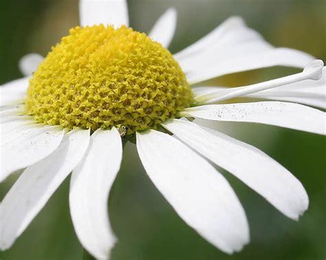 flower picture daisy flower 3 daisy flower gerbera daisy flowers pink white silk