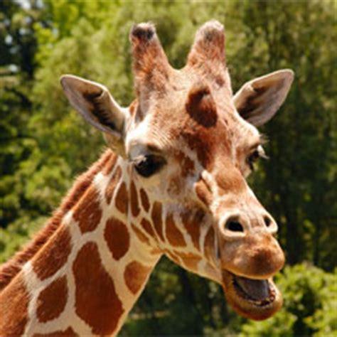 imagenes de jirafas sacando la lengua 191 sabes por qu 233 la lengua de las jirafas es negra h 233 lo ah 237
