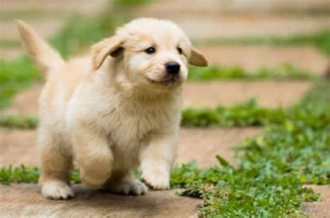 pudgy puppy puppy goldens