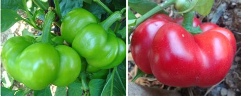 paprika samen pflanzen 3272 paprika samen pflanzen paprika pflanzen im eigenen garten