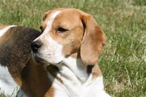 kleine holzhütte beagle vom deistertal h 252 ndion odetta rekkas holzh 195 188 tte