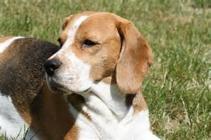holzhütte garten beagle vom deistertal h 252 ndion odetta rekkas holzh 195 188 tte