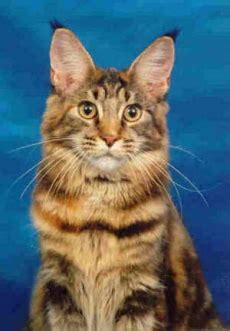 why we love maine coon cats