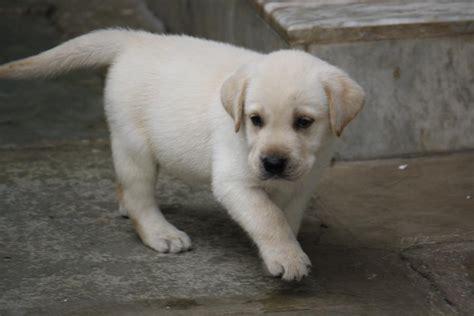 labrador retriever puppies price labrador retriever puppies for sale rahul 1 4400 dogs for sale price of puppies