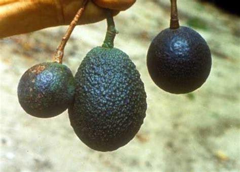fruit zinc symptoms fruit of zinc zn deficiency