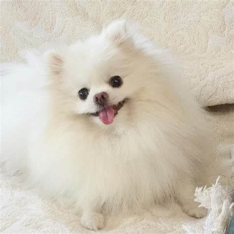 fluffiest puppies meet the world s cutest and fluffiest pomeranian