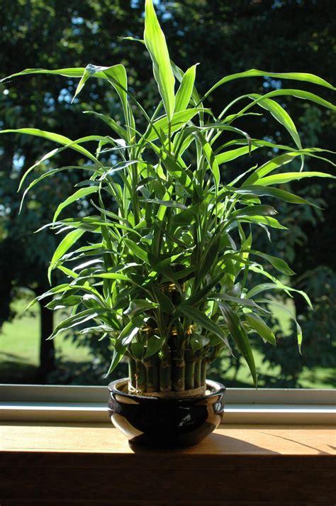 treat      care  indoor bamboo plants