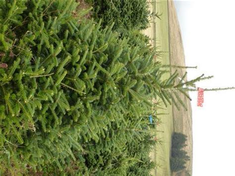 real fraser fir christmas trees freshly cut scottish