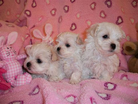 maltese puppies for sale louisiana maltese breeders in illinois maltese puppies for sale maltese breeds picture