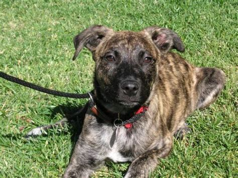 brindle breed list brindle dingo dogs breeds picture