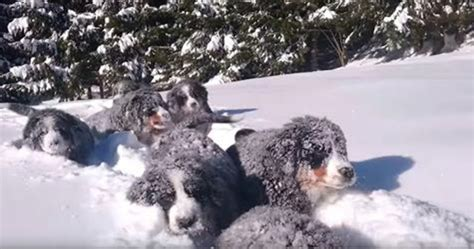puppies in the snow these bernese mountain puppies in the snow will away the winter blues