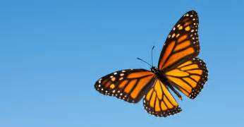 monarch color mayfair monarch project saving the monach butterfly by