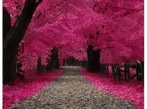 les plus beaux cerisiers en fleurs de la plan 232 te 9 avril